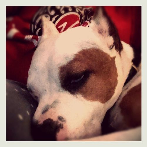 One tired pup. Floydpup is exhausted from all the doggie guests since wendesday. Pitbullsofinstagram Pitbull Pitbulls Pitbullinstagram Pitbulllove Pitbulllife Pitty Pittie Pitties Pibble Bully Bullies Pitstagram Dog Dogsofinstagram Dogstagram Dogoftheday Ilovemypitbull Dontbullymybreed Endbsl Myinstapit OURPITPAGE Instapit Instadog bullylove bullylife bulliedbreeds instapets pitbulladvocate