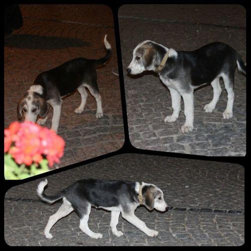 Bozcaada Köpek şebelek Sevgiarsızı köpüş