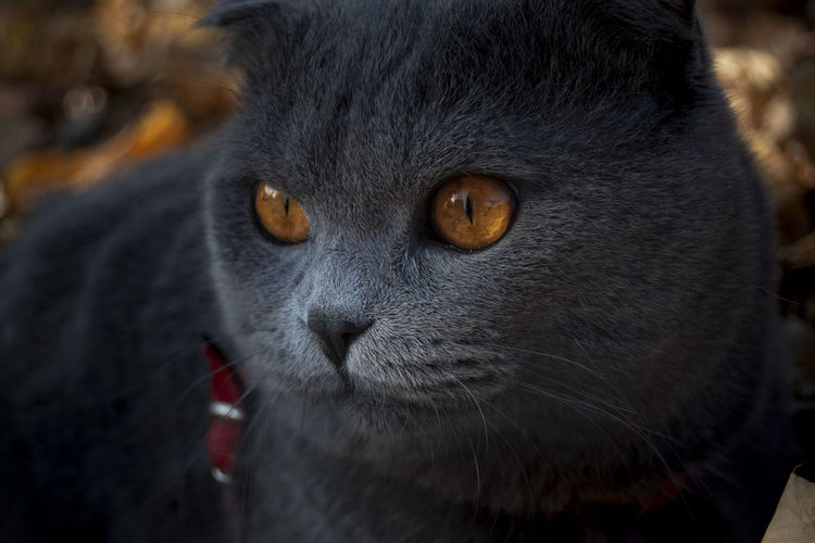 Animal Themes Mammal One Animal Animal Cat Pets Close-up Domestic Animals Domestic Feline Animal Body Part Domestic Cat Animal Head  Portrait Focus On Foreground Animal Nose Whisker Yellow Eyes Animal Eye Vertebrate Scotishfold View Beauty In Nature Cute Pets Looking At Camera No People