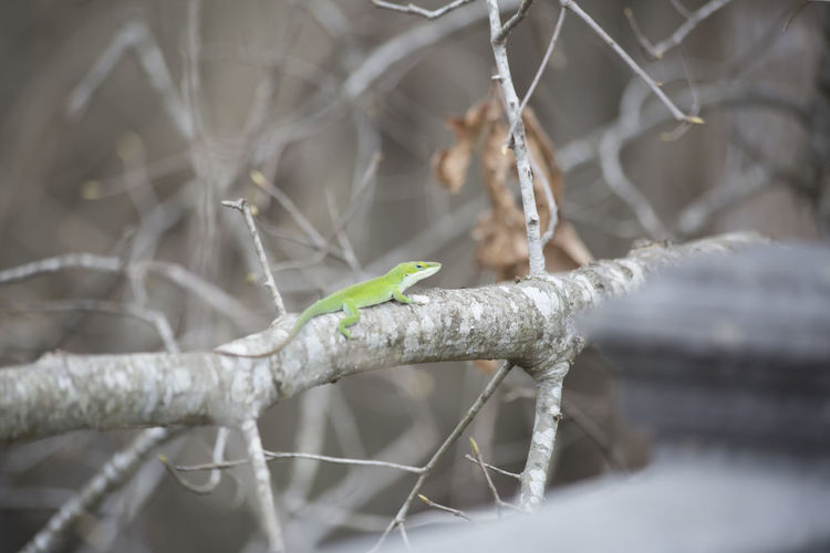 Animals In The Wild Branches Nature Nature Photography Reptile Reptiles & Amphibians Animal Animal Themes Animals Animals In The Wild Branch Cold Temperature Day Lizard Nature Nature No People One Animal Outdoors Plant Real People Reptil Reptile Photography Reptiles Tree Winter