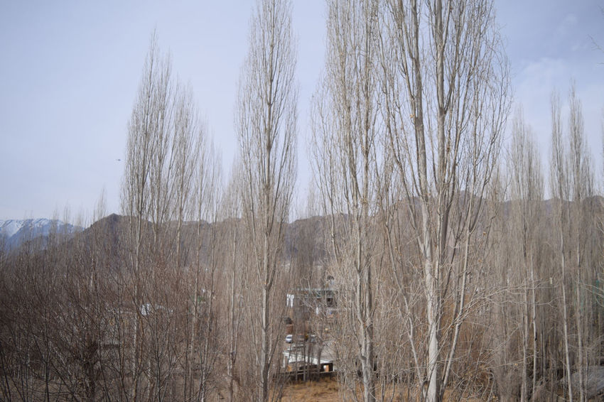 dried trees in winter Tree Trees Tree_collection  Winter Extreme Weather Cold Temperature Leh Mountains Nature Nature_collection Nature Photography Nature_collection Winter Winter Trees Wintertime Landscapes With WhiteWall Dry Dead Plant Dried Plant Dead Tree Dried