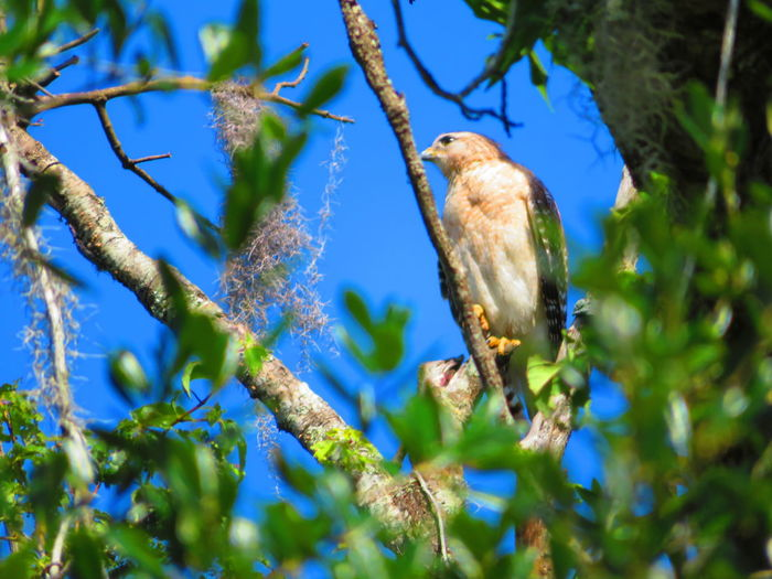 White breasted wild hawk Florida Hawks Bird Tree Perching Branch Blue Full Length Animal Themes Close-up Tropical Bird Hawk - Bird Bird Of Prey Hawk