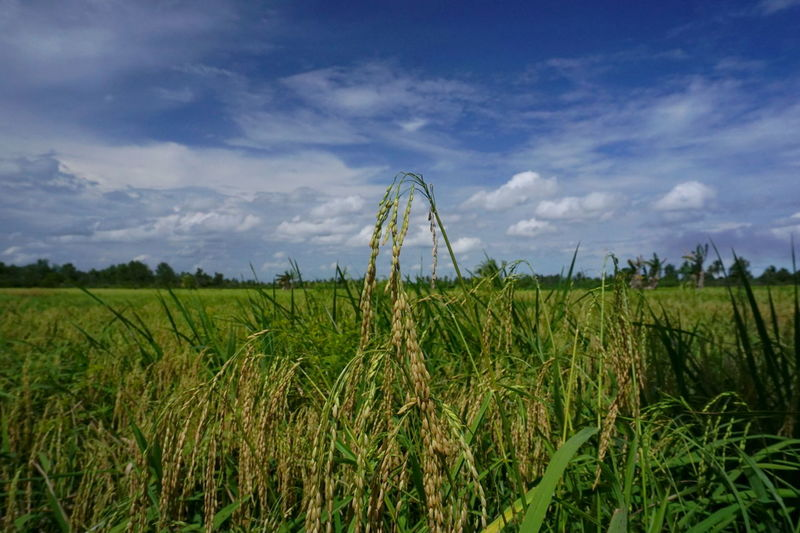 Rice Irrigation Equipment Cereal Plant Agriculture Rural Scene Field Crop  Sky Grass Plant Green Color