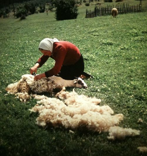 1950s: Scheren eines Schafes in Jugoslawien Casual Clothing Day Field Full Length Grass Grassy Green Color Jugoslavia Landscape Leisure Activity Lifestyles Nature Outdoors Rural Scene Scheren Sheep Vintage