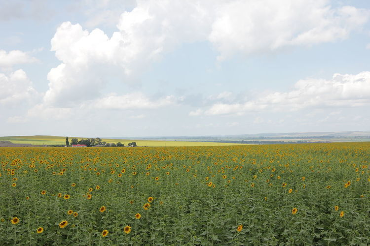 Krasnodar region. Sunflower fields. Cloud - Sky Beauty In Nature Plant Flower Flowering Plant Sky Land Field Landscape Scenics - Nature Tranquil Scene Growth Environment Tranquility Nature Agriculture Yellow Freshness No People Day Flowerbed Agro Agroculture Sunflower Summer