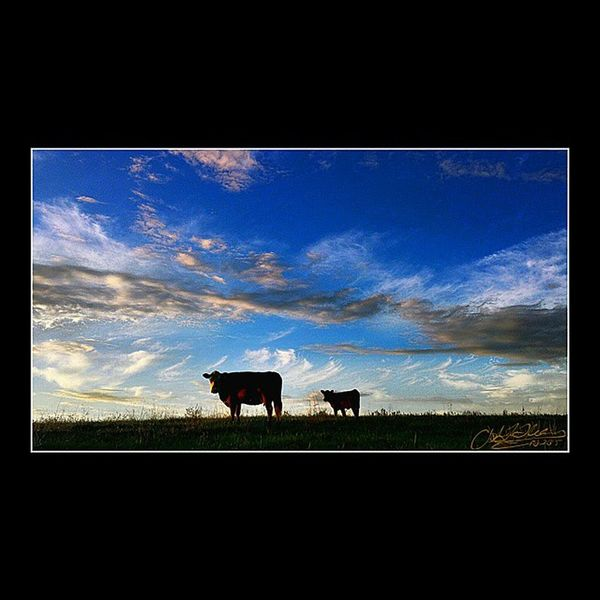 Blue Wave Farm Life Cows Rural Landscape Cowlife ILoveThisLife Cowlover Cattle Photooftheday Farmlife Photography Farm Animals Cowlove Farm Photos Cattlefarm Moomoos Enjoying Life Cow Journey Farmland Farmcountry Country Life Downonthefarm Simple Beauty Simple Moments Livestock Calf Farm Animal Domestic Cattle Pasture