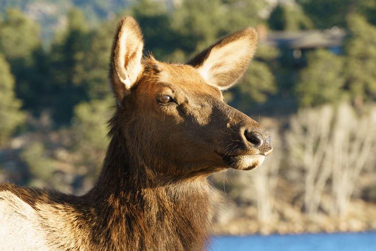 Female elk close-up