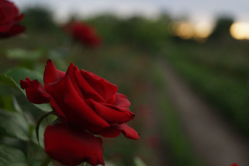 No People Outdoors Green Color Growth Close-up Freshness Valentine's Day - Holiday Springtime Rose Petals Beauty In Nature Flower Head Romance Fragility Plant Beauty Rose - Flower Agriculture Green Green Green!  Red Flower Petal Nature Cala Flowers Love Green Green Green!