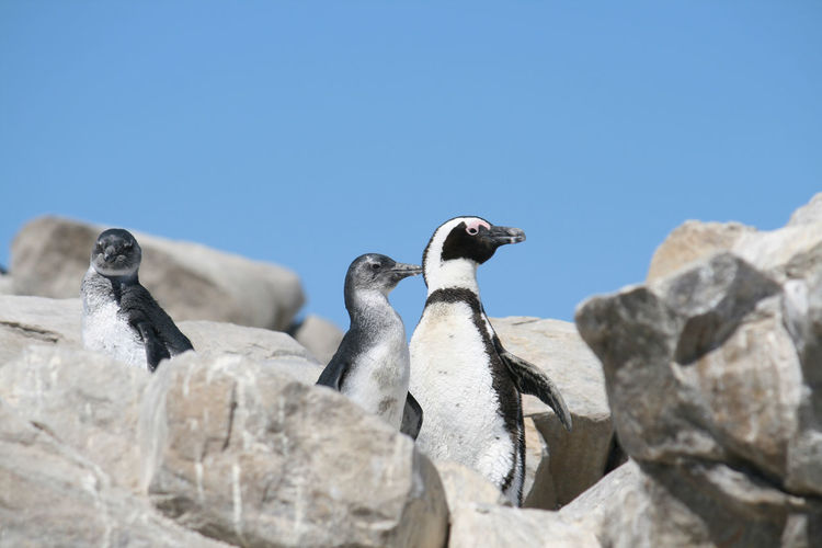 Low angle view of birds on rock against clear sky