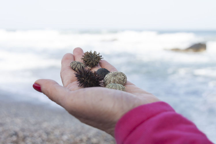 Close-up of hand holding sea urchins