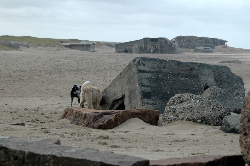 "Remains of the ""Atlantic Wall"" at the beach in Denmark. These Bunkers remain at the beach after having been abandoned at the end of WW2 Bunker Nature WW2 Leftovers Animal Themes Beach Day Desert Domestic Animals Fortress Landscape Mammal Nature No People One Animal Outdoors Sand Sky Stronghold Ww2"