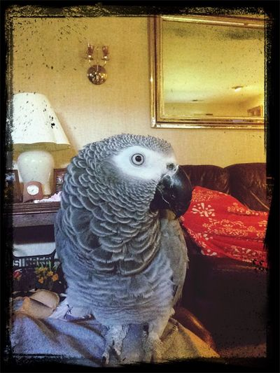 My Beautiful African Grey parrot Chelsea