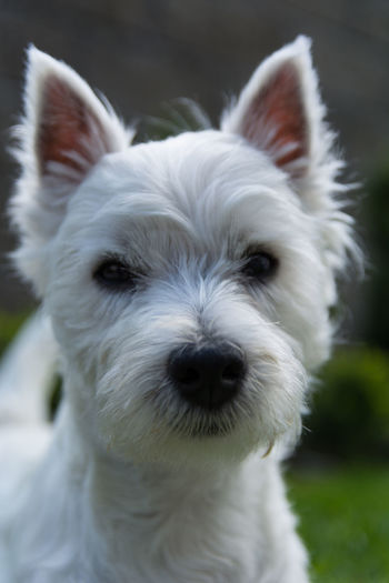One Animal Domestic Animals Domestic Animal Themes Pets Canine Animal Mammal Dog White Color Portrait Animal Body Part West Highland White Terrier Animal Head  Animal Mouth Puppy Young Animal Racial Dog