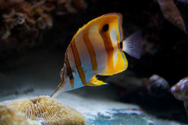 Close-up of copperband butterfly fish swimming underwater