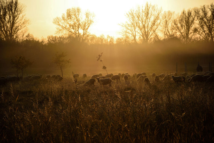 Lost In The Landscape Animal Themes Beauty In Nature Domestic Animals Field Grass Landscape Large Group Of Animals Nature Outdoors Sheep Sheep-run Sheeps Sunset
