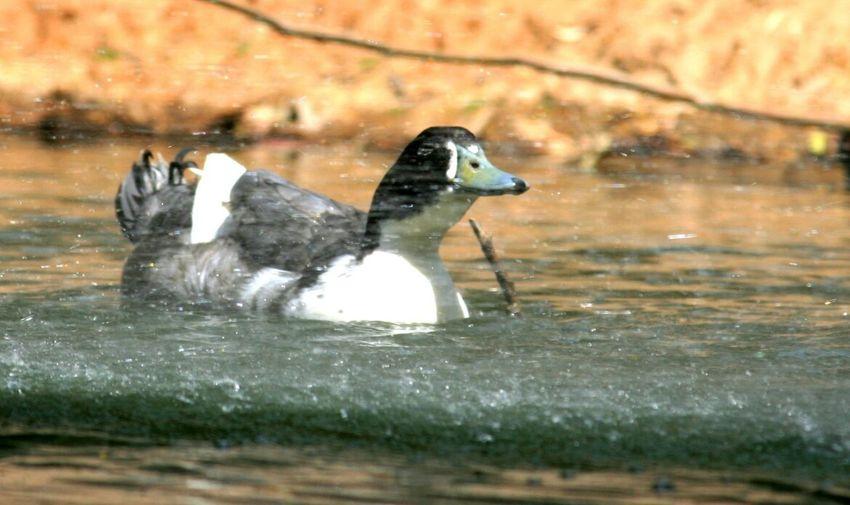Bird Photography Waterspray Duck ..... Face First