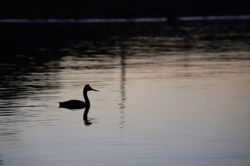 Duck Water Vertebrate Animal Animal Themes Animal Wildlife Animals In The Wild Bird One Animal Reflection Lake Waterfront Swimming Nature No People Silhouette Beauty In Nature Sunset Water Bird Outdoors
