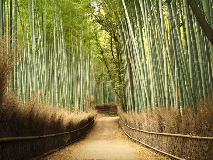 Footpath amidst bamboo trees in forest