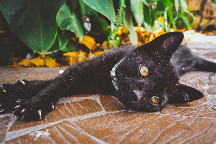 Close-up of black cat