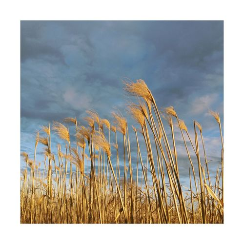 Wheat plants against sky