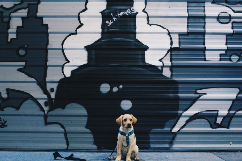 Labrador Retriever Puppy Sitting Against Graffiti Shutter