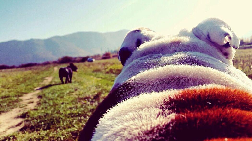 Domestic Animals Animal Themes Mammal Livestock Field Nature English Bulldog EyeEmNewHere No People Day Landscape Close-up Outdoors Sky Grass