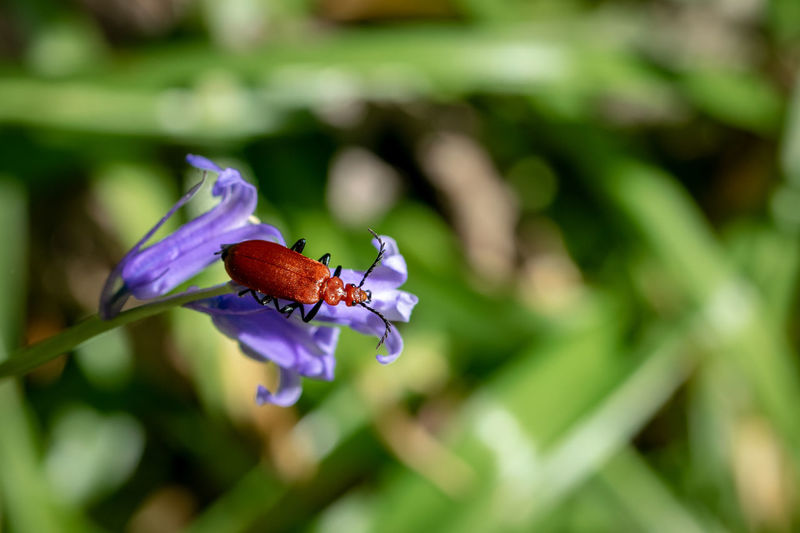 Red headed cardinal beetle, pyrochroa serraticornis, resting on bluebell flower