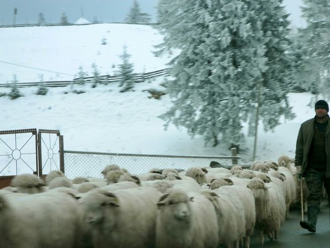 Sharing the road Winter My Winter Favorites Sheep Sheeps Flock Flockofsheep Herder Sheep Herding Snow ❄ Hard Work Romania Traditional Culture Feel The Journey Original Experiences