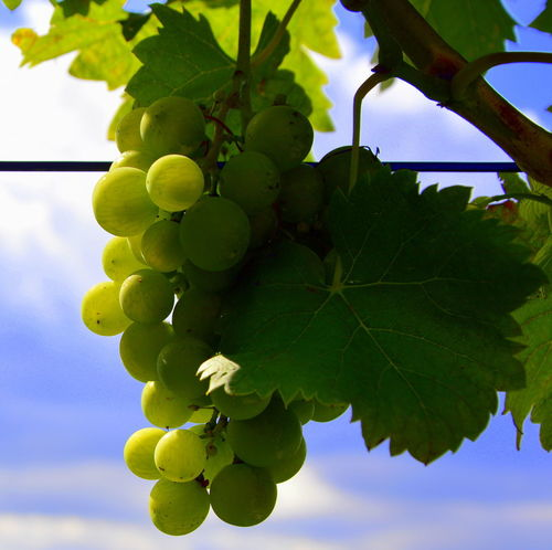 Baden-Württemberg  Agriculture Beauty In Nature Bunch Close-up Day Food Food And Drink Freshness Fruit Germany Grape Green Color Growth Hanging Healthy Eating Leaf Nature Olefingirl Outdoors Plant Sky Tree Vine - Plant Vineyard
