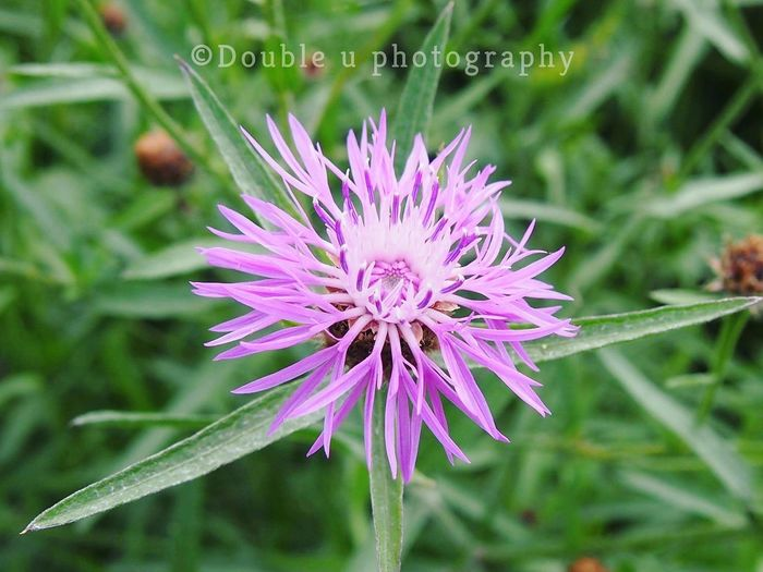 Flower Purple Nature Plant Beauty In Nature No People Outdoors Flower Head Agriculture Fragility Freshness Close-up Growth Olympus Camera Social Issues Landscape Selective Focus Nature_collection Beauty In Nature Focus On Foreground Growth Pink Color Nature