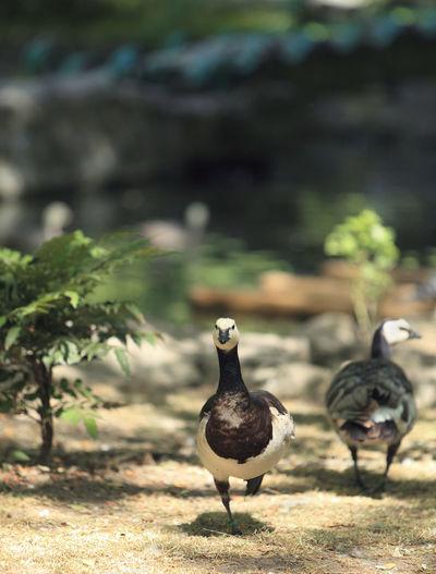 Goose runing in a stockyard. Geese Run Animal Themes Animal Wildlife Animals In The Wild Bird Close-up Domestic Animal Domestic Bird Fauna Focus On Foreground Goose Nature Yard