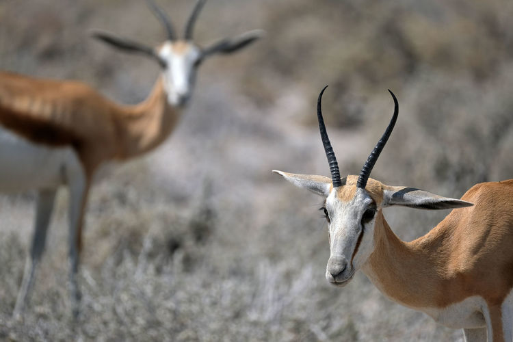Antelope in etosha national park, namibia
