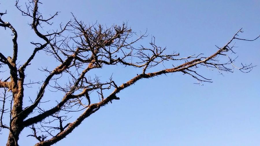 Low angle view of bare trees against clear blue sky