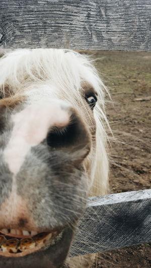 Domestic Animals Animal Nose Close-up Animal Themes Horsesmile Smile Animalsmile Countrylife CountryLivinG Farmanimals FarmAnimal Pony Horse MyLittlePony