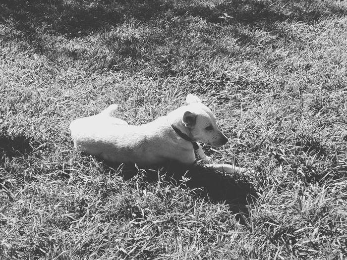 Grass Dog