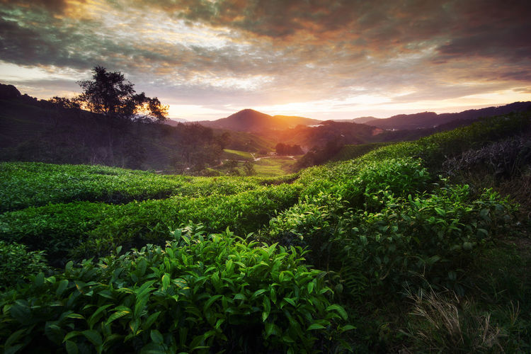 Amazing landscape view of tea plantation in sunset/sunrise time. Nature background with burning sky and foggy. Burning Sky Cameron Highlands EyeEm Best Shots EyeEm Nature Lover EyeEm Selects EyeEm Gallery EyeEmBestPics EyeEmNewHere Green Color Landscape_Collection Nature Photography Pahang, Malaysia Tea Art Of Nature Backgrounds Blue Sky Eye4photography  Fog Landsacpephotography Morning View Sungai Palas Sunrise Sunset Tea Plantation  Wallpaper