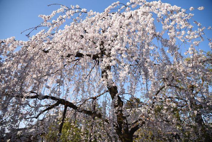 枝垂れ桜 Cherry Blossoms 上品蓮台寺 京都 桜 Temple Sakura Japan Japan Photography EyeEm Best Shots EyeEm Japan Eyemphotography EyeEmBestEdits 3月 NIKON D5300