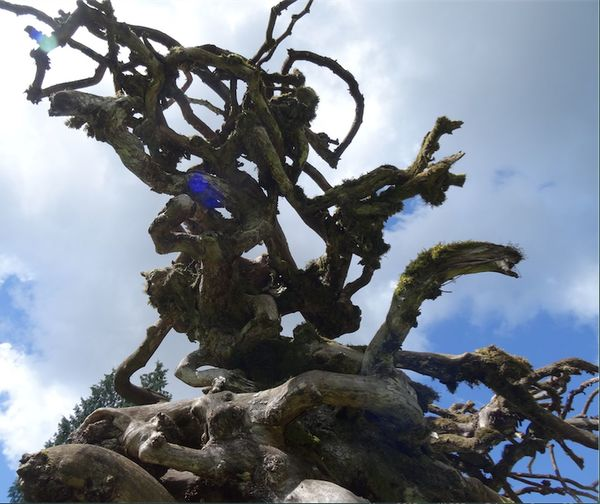 Twisted old tree Kirkland Washington Marymoor Park Age Time arthritis Springtime Death beauty Sky poignant Redmond