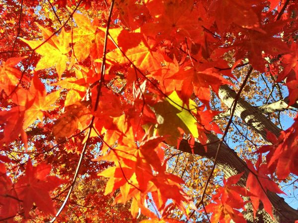 First Eyeem Photo Japanese Maple Leaves Backyard Home Sweet Home Autumn Fall Mother Nature Sun Through Trees Japanese Maple Home Sweet Home🏠 Love My Trees Trees 06516 Connecticut Bright Leaves Orange Gold Red Fall Bouquet