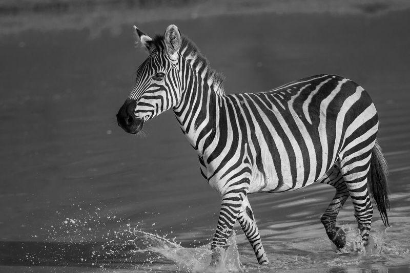 Zebra Walking At Lakeshore