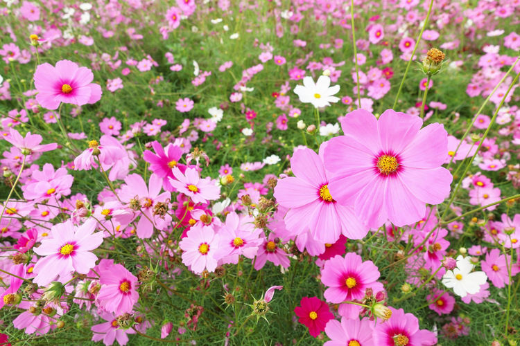 it is colorful cosmos flowers background. Backdrop Background Beautiful Beauty Blooming Blossom Blur Botany Color Colorful Cosmos Daisy Decoration Decorative Environment Field Flora Floral Flowers Fresh Garden Gerbera Golden Grass Green Landscape Light Meadow Natural Nature Outdoor Pattern Petal Pink Plant Pollen Pretty Purple Season  Seasonal Serrated Spring Star Summer Sunlight Sunny Vibrant White Yellow