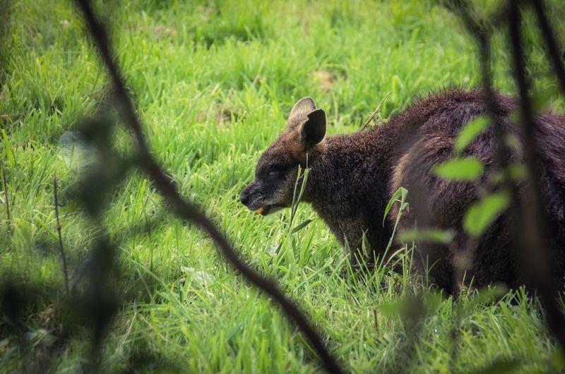 Close-up of kangaroo on field