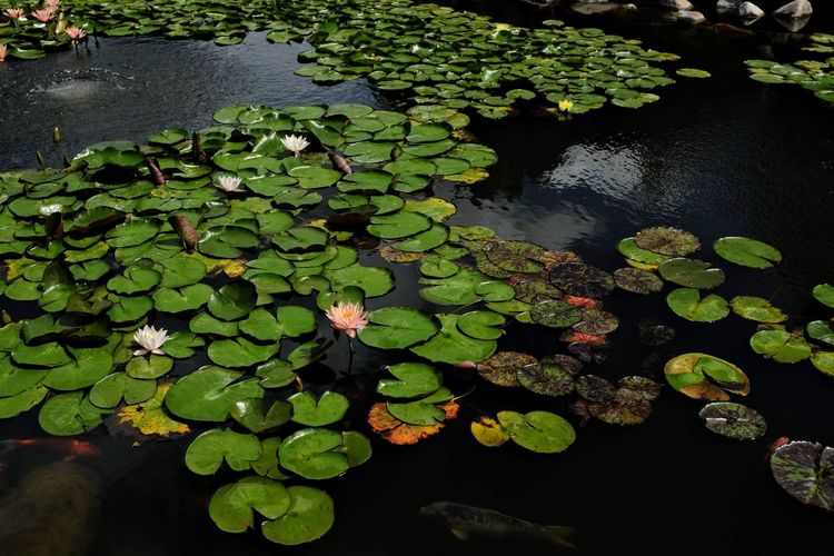 Visual Journal June 2018 Lincoln, Nebraska Always Making Photographs Camera Work EyeEm Best Shots Getty Images Photo Essay Pond Sunken Gardens Visual Journal Water Plants Eye For Photography Formal Garden Fujifilm Garden Photography Lily Flower Lily Pad Long Form Storytelling No People Photo Diary S.ramos June 2018 Tourist Destination Water Lilies