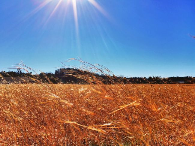 Wheat Field Whispy Sunshine Tranquil Tranquility Landscape Rich Outdoors Adventure Explore