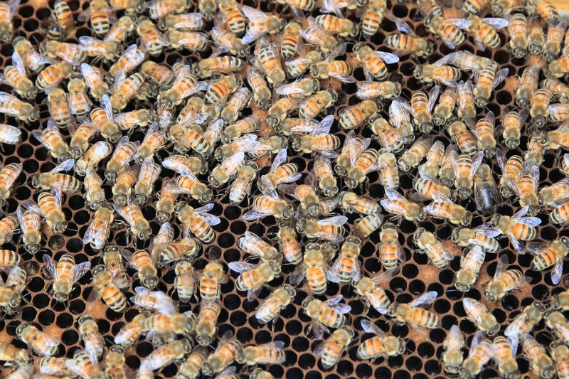Animal Wildlife Large Group Of Animals Group Of Animals Animal Animals In The Wild Animal Themes Bee Beehive APIculture Honey Bee Colony Honeycomb Insect Full Frame Invertebrate Close-up No People Beauty In Nature Backgrounds Day
