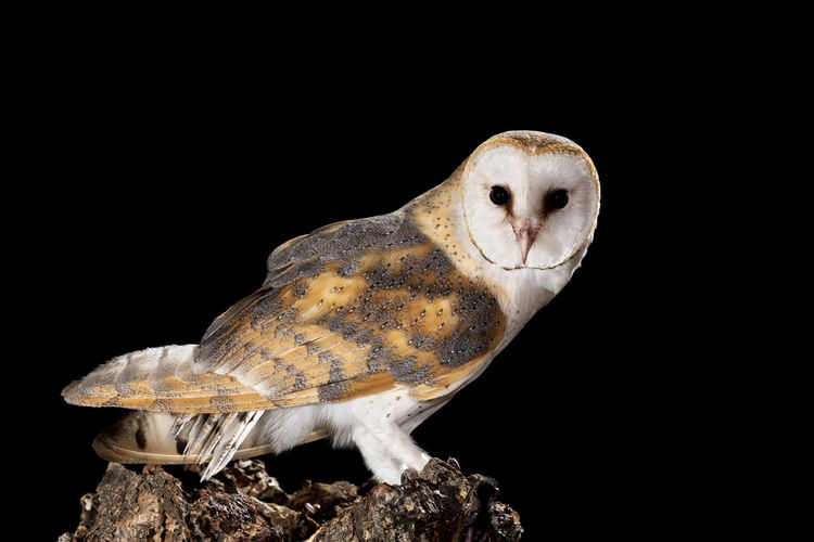 Close-up of owl perching on black background
