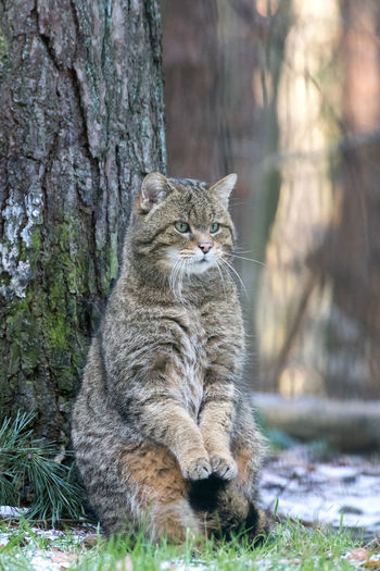 Beautiful Nature Endangered  Endangered Species European Wildcat FUNNY ANIMALS Felis Silvestris Silvestris Winter Wintertime Animal Themes Cat Cats Cute Animals Endangered Animals Focus On Foreground Foraging Forest Forest Animals In The Forest Its Cold Outside Mammal Nature Conservation One Animal Walk In The Woods Wildcat Wildlife