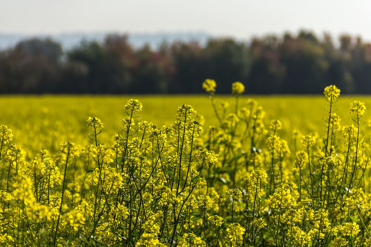 Agriculture Beauty In Nature Crop  Cultivated Cultivated Land Day Farm Field Flower Focus On Foreground Fragility Freshness Growth Landscape Mustard Plant Nature No People Oilseed Rape Outdoors Plant Rural Scene Scenics Tranquil Scene Tranquility Yellow