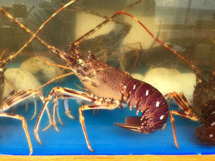 Spiny Lobster Seafoods Delicious Water Underwater Food