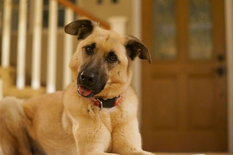 Animal Themes Close-up Cute Cute Pets Day Dog Domestic Animals Focus On Foreground Home Indoors  Looking At Camera Mammal No People One Animal Pets Portrait Puppy Sweet Tongue Out